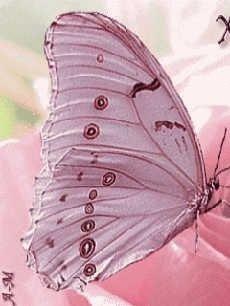 Pink butterfly: Pink Butterfly, Beautiful Butterflies, Things Pink, Pinkbutterfly, Flutter By, Butterfly Moth