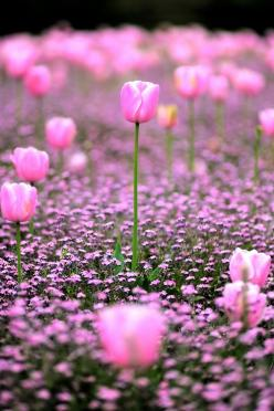 pink: Field, Pink Flowers, Nature, Color, Pretty Pink, Beautiful Flowers, Garden, Photography, Pink Tulips