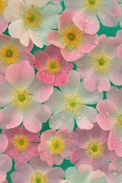 #Pink (floral photo: either anemones or single-petaled roses) flower desktop wallpapers: Pink Flowers, Pastel, Color, Wallpaper, Pretty Flowers, Beautiful Flowers, Flower Power, Garden