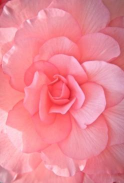 pink, flower: Pink Roses, Pink Flowers, Nature, Color, Pretty Pink, Beautiful Flowers, Bloom, Beauty