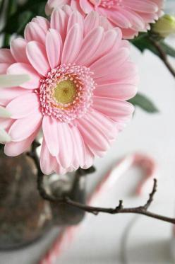 Pink Gerbera---my favorite flower! With baby's breath in a vase--its gorgeous༺✿Teresa Restegui http://www.pinterest.com/teretegui/✿༻: Pink Flowers, Gerber Daisies, Gerbera Daisies, Color, Gerbera Daisy, Gerber Daisy, Pink Gerbera, Garden, Favorite Flo