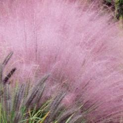 Pink Muhly Grass looks average until the flowers come in autumn...then get ready for EVERYONE to ask you what that pink thing is blooming in your yard!!!!: Pink Muhly, Garden Ideas, Yard, Outdoor, Muhly Grass, Flower