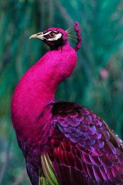 Pink Peacock (endemic to SE Asia): Colour, Peacocks, Animals, Pink Peacock, Nature, Color, Pinkpeacock, Beautiful Birds