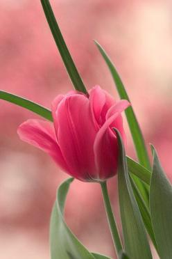 Pink: Pink Flower, Nature, Color, Tulip, Beautiful Flowers, Flowers, Garden, Pink Tulips, Favorite Flower