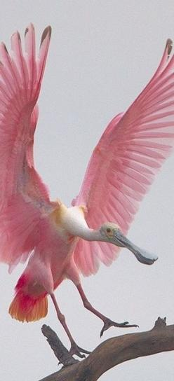 Pink roseate spoonbill: Animals, Nature, Creature, Wings, Beautiful Birds, Photo, Pink Bird, Roseate Spoonbill