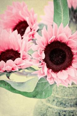 Pink sunflowers: Pink Flower, Ideas, Color, Outdoor, Beautiful Flowers, Pretty Flowers, Flowers Garden, Pink Sunflowers