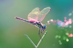 Pink  Winged Dragonfly.: Dragon Flies, Nature, Color, Beautiful, Creatures, Dragonfly, Dragonflies, Animal