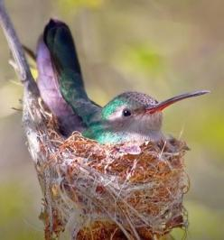 Pinner writes: Humming Bird in Nest - just found one in one of our maple trees....incredibly small and soft: Humming Birds, Animals, Bird Nests, Beautiful Birds, Birds Hummingbirds, Hummer