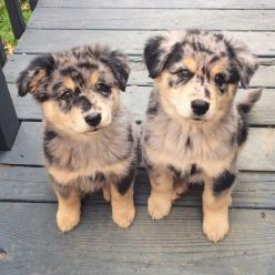 Pinterest: katheriineexoxo: Twin, Cutest Puppy, Puppies, Animals, Dogs, Puppys, Australian Shepherd