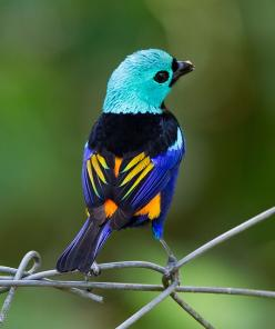 Pintor-verdadeiro (Tangara fastuosa) por Luiz Damasceno |: Animals, Nature, Colors, Beautiful Birds, Coloredtanager, Ave