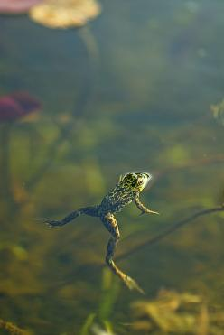 Playin' in a pond or creek somewhere: Fish Frogs, God S Creation, Bokeh Photos, Color Photography, Frog Photos, Animal