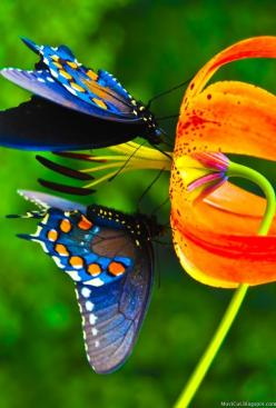 Please tell me again how this arose by random time and chance. Uh, no. God is a master designer!: Beautiful Butterflies, Blue Butterflies, Blue Butterfly, Color, Butterflies Insects, Flower