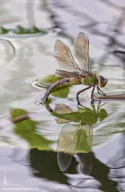 pollinator - dragon fly | Better Photo: Bugs, Make It Easier To, B Dragonfly, Insects, 061114 Dragonflys, Dragonflies, Animal, Dragonfly Reflection