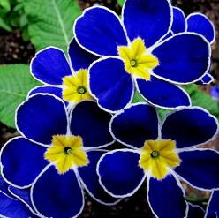 Polyanthus primrose - these are gorgeous!: Blue Primrose, Blue Flowers, Nature, Color, Beautiful Flowers, Flowers, Flowers Garden