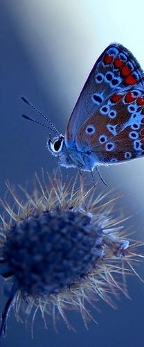 Polyommatus thersites.  Ignazio Corda via Flickr http://www.flickr.com/photos/33073116@N06/4722663348: Beautiful Butterflies, Blue Blue, Blue Butterfly, Color, Butterflies Insects