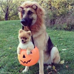 pomeranian and german shepherd ready for halloween: Animals, Dogs, Pets, Funny, Costume, Puppy, Trick Or Treat, German Shepherd, Halloween