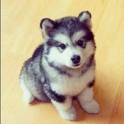 Pomsky- half Pomeranian half husky. Stays little forever! I WILL get this dog someday!: Puppies, Animals, Dogs, So Cute, Pets, Puppys, Husky, Pomsky, Pomeranian