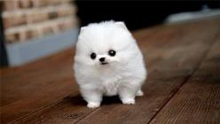 POMSKY PUPPY. AHHHHH.: Puppies, Animals, Dogs, So Cute, Pets, Puppys, Funny, Adorable, Things
