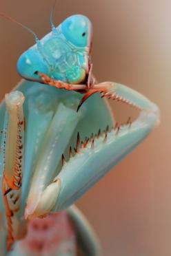 popculturephrasebook: This close-up really bugs me (via Blue,Praying Mantis,Photography,Macro Photo,WildLife,Bugs | A Creative Universe): Animals, Nature, Bugs, Blue, Color, Creature, Insects, Praying Mantis