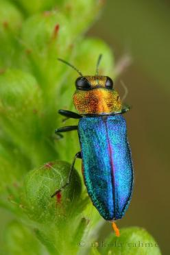 Prachtkäfer - Jewel beetle .... Buprestidae is a family of beetles, known as jewel beetles or metallic wood-boring beetles because of their glossy iridescent colors. The family is among the largest of the beetles, with some 15,000 species known in 450 gen