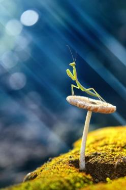 "Practice: ""How are you, really?"" Please like, repin or follow us on Pinterest to have more interesting things.Thanks. http://hoianfoodtour.com/: Exquisite Photo, Animals, Bugs, Budi Ccline, Macro Photography Insects, Praying Mantis, Small Creature"