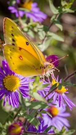 Praise ye the Lord. Praise, O ye servants of the Lord, praise the name of the Lord. Blessed be the name of the Lord from this time forth and for evermore. Psalms 113:1,2: Beautiful Butterflies, Butterflies Dragonflies, Orange Sulphur, Yellow Butterfly, Fl