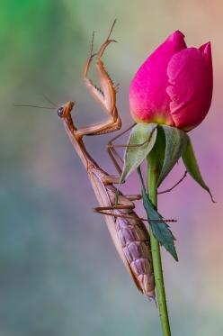Praying mantis: Animals, Bugs, Beautiful, Creatures, Insects, Rose Bud, Praying Mantis, Flower, Mantid