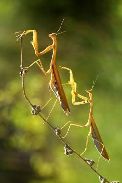 "Praying Mantis Mates. See Over 2000 more animal pictures on my Facebook ""Animals Are Awesome"" page. animals wildlife pictures nature fish birds photography: Macro, Nature, Butterflies, Insects Animals, Insects Bugs, Walk, Praying Mantis, Photograp"