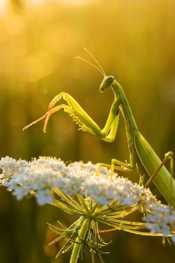 Praying Mantis resting on Queen Ann's Lace plant. - Nature - by Padika: Amazing Insects, Animals Insects Birds Reptiles, Praying Mantises, Praying Mantis Let S, Praying Mantis Queen, Praying Mantis Love, Mantis Insect, Nature Photography