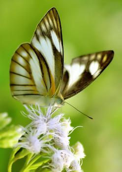 Pretty butterfly = white with black stripes and yellow tinges.: Beautiful Butterflies, Butterfly, White Flower, Animals, Butterfly, Flutterby, Photo