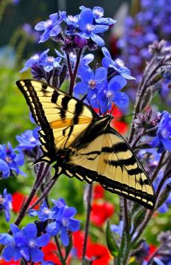Pretty little butterfly.Please check out my website thanks. www.photopix.co.nz: Beautiful Butterflies, Color, Swallowtail Butterfly, Butterflys Moths, Blue Flower