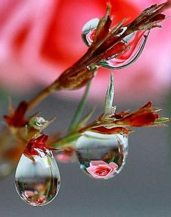 Pretty rose reflected water drops: Rose, Water Drops, Nature, Waterdrop, Dew Drops, Dewdrop, Photo, Flower, Rain Drop