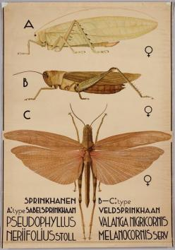 Pseudophyllus neriifolius^ (bush cricket)  Valanga nigricornis (yellow or shorthorned grasshopper^): Wall Charts, Insects Bugs, Charts Entomology, Insect Chart, Cricket Insect