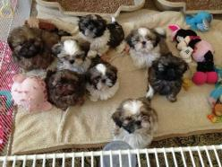 Puppies!? Shih Tzu: Dogs, Shihtzus, Shitzu, Shi Tzu, Puppy, Shih Tzu S, Shih Tzus, Friend, Animal