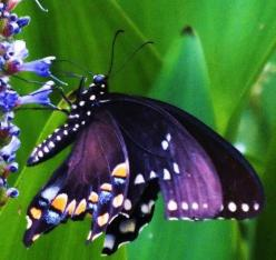 Purple Butterfly: Beautiful Butterflies, Animals, Nature, Purple Butterfly, Flutterby, Beauty