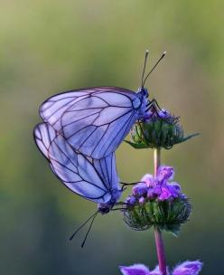 Purple butterfly nature insects: Beautiful Butterflies, Animals, Nature, Purple Butterfly, Flutterby, Flower