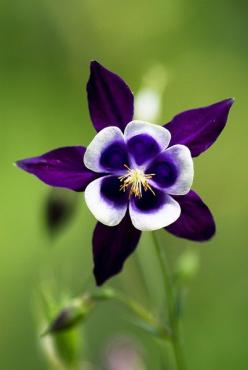 Purple columbine ~ I love all my columbine and have been spreading the seed round the  house. Such a mystical little blossom!: Flowers Plants, Purple Flowers, Columbine Flower, Pretty Flowers, Beautiful Flowers, Columbine Aquilegia, Garden, Flower
