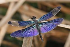 purple dragonfly | Flickr - Photo Sharing!: Blue Dragonfly, Butterflies Dragonflies Moths, Rhyothemis Fuliginosa, Dragonflies Butterflies, Butterflies Dragonfly, Purple Dragonfly, Photo Sharing, Butterflies Moths Dragonfly S, Beautiful Dragonflies