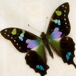 Purple Mountain Swallowtail Butterfly.  Butterfly fact: There are many reasons why butterflies are so colorful. Their color helps them to blend in with flowers when feeding. It helps them absorb heat. It also helps them attract a mate.: Beautiful Butterfl