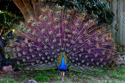 PURPLE peacock feathers? Be still my heart!: Peacocks, Tattoo Tom, Color, Birds, Purple Peacock, Flashback Peacock, Beautiful Peacock, Animal