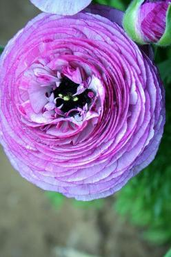 purple ranunculus  This is the flower that's going to be used for the boutiner. Only in a very soft pink.: Favorite Flowers, Color, Country Kitchen, Beautiful Flowers, Bloom, Purple Ranunculus, Garden, Purple Flower