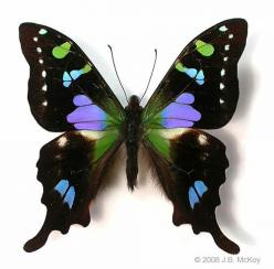 Purple spotted swallowtail, Graphium weiskei. This incredible butterfly (purple is an unusual colour in butterflies) occurs in Papua New Guinea: Beautiful Butterflies, Purple Spotted Swallowtail, Swallowtail Butterfly