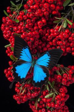 Pyracantha And Butterfly: Beautiful Butterflies, Animals, Blue Butterfly, Nature, Butterfly Moth, Photo, Flower