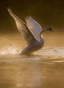 Quaeek!...Wow, This Place Is So Amazing...Samissomar´s Pinterests Are My First Choice Forever !... http://samissomar.wix.com/soundscapings: Animals, Nature Animal, Beautiful Swan, Art, Swan Lake, Birds