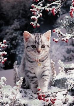 Que c'est beau ! Je n'ai même pas 1 an, et c'est la première fois que je découvre ce superbe paysage tout blanc...: Christmas Cats, Kitty Cats, Snow, Kittens, Winter Kitty, Animal
