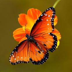 ~~ Queen Butterfly by John Absher~~: Butterflies Dragonflies, Beautiful Butterflies, Animals, Queens, Flutterby