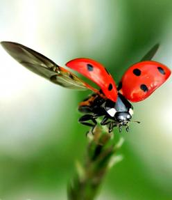 quick lens action shot and macro setting paired together to create one breathtaking image.: Ladybird, Nature, Macro Photography, Ladybugs, Insects, Lady Bugs, Animal, Ladybug Fly
