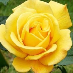 Radiant Perfume  This grandiflora rose's name says it all! The big, golden-yellow blooms bear a wonderfully intense citrus scent. Thanks to their long stems, the flowers are perfect for cutting and adding sunshine indoors.: Blooms Bear, Citrus Scent,