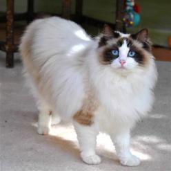 Ragdoll Cat Breed Profile - Breed Information with Description ... - #ragdollcatbreeds -Tops Cat Breeds at Catsincare.com!: Animals, Ragdoll Cats, Pet, Kitty, Cat Pictures, Cat Breeds, Rag Doll Cat, Cats Breed