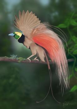 Raggiana Bird-of-paradise, (Paradisaea raggiana) is the national bird of Papua New Guinea; in 1971 this species, was made the national emblem & included on the national flag. It is distributed widely in southern and northeastern New Guinea, where its